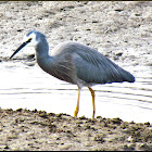 The White-faced Heron
