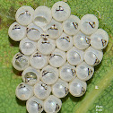 Stink Bug Eggs
