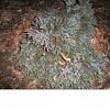 Blue star juniper