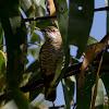 Gould's Bronze-Cuckoo