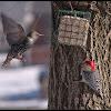 Red Bellied Woodpecker & European Starling