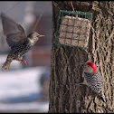 Red Bellied Woodpecker & European Starling