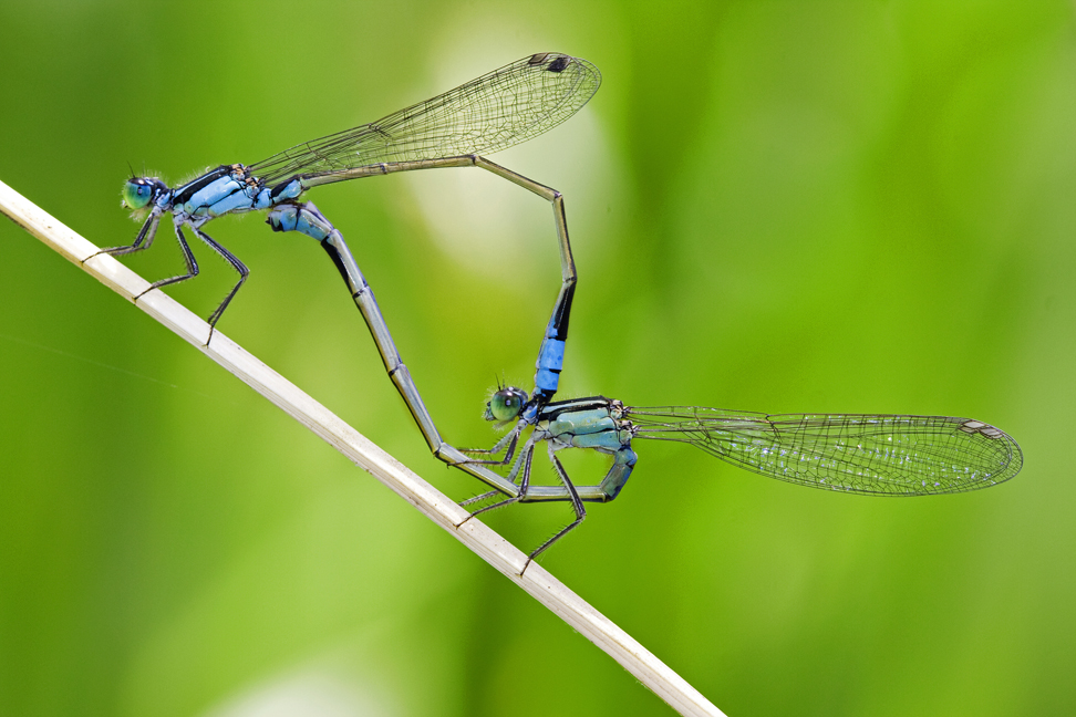 Two Mating Damselflies