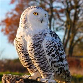 Snowy Owl by Deleted Deleted - Animals Birds