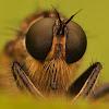 Asilidae species