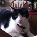 American Tuxedo Cat