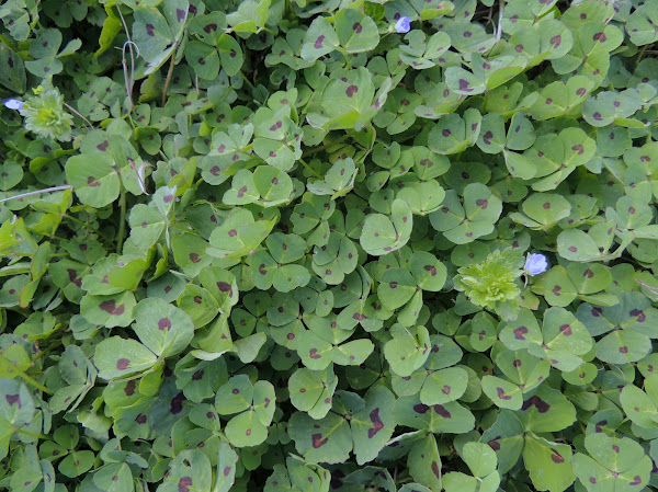 what does red clover look like