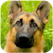 German Shepherds Wallpapers