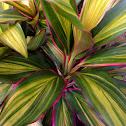 Kiwi Ti Plant