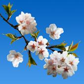 Cherry blossom Live