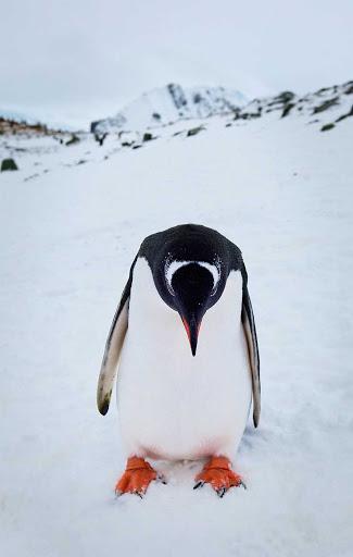Antarctica-Neko-Inlet-Gentoo-Penguin - A gentoo penguin seems a tad downcast during a G Adventures expedition of Neko, Antarctica.