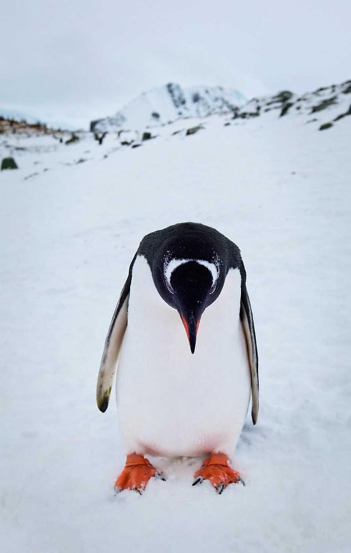 A gentoo penguin seems a tad downcast during a G Adventures expedition of Neko, Antarctica.