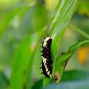 Common Mime ( Caterpillar )