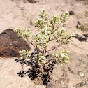 slickspot peppergrass