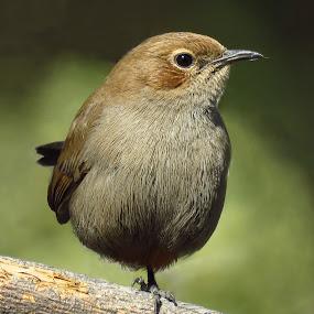 ROBIN by Kishan Meena - Animals Birds ( bird, robin, nature, female, wildlife, beauty )