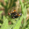 Tachina flies