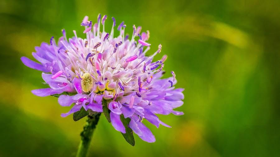 Field Scabious Flower by Mark Shoesmith - Flowers Flowers in the Wild ( wild, macro, macro photography, d7000, nikon, field scabious, flower,  )