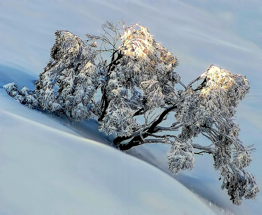 Snow Tree Kissed by the Sun by Chris KIELY - Landscapes Weather ( mountain, tree, snow, sunrise, morning, early, sun,  )