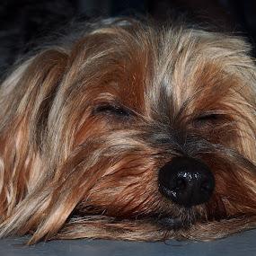Zzzzz... by Joe Spandrusyszyn - Animals - Dogs Portraits ( sleeping, dog, animal, sleep, rest, resting,  )