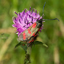 six spotted Burnet