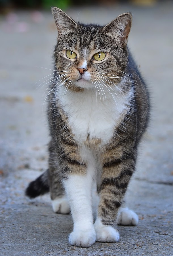 Mitzi by Iulia Breuer - Animals - Cats Portraits ( cat, adult,  )