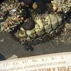 Mopalia mucosa (?), Mossy Chiton