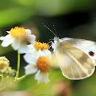 Indian Cabbage White, 東方菜粉蝶