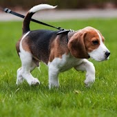 Beagle Dogs Live Wallpaper