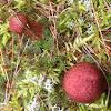 Armillaria gallica