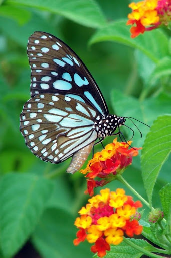 Nice Butterfly Live Wallpaper