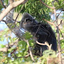 Ebony leaf Monkey