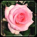 花の写真集 バラ icon