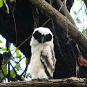 spectacled owl [ juvenile]