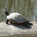Yellow-bellied slider (Gelbbauch-Schmuckschildkröte)
