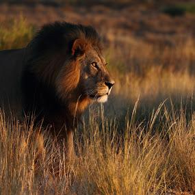 Sunrise lion by Adéle van Schalkwyk - Animals Lions, Tigers & Big Cats ( wildlife. free, lion, hunter, predator, cat )
