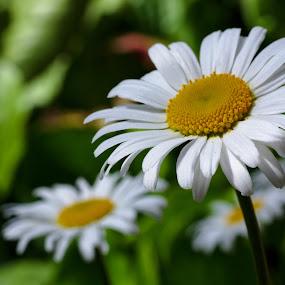Daisies by Simo Järvinen - Flowers Flower Gardens ( nature, daisies, summer, flowers, garden,  )