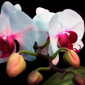 Anggrekku by Ignatius Kukuh - Flowers Flower Gardens ( anggrek, flower )
