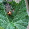 Squash Lady Beetle