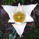 white triumphator tulip