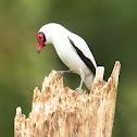 Pájaro chancho, o Titira carirroja