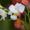 Orquídea Papilionanthe