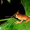 Java Flying Treefrog