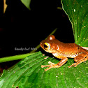 Java Flying Treefrog