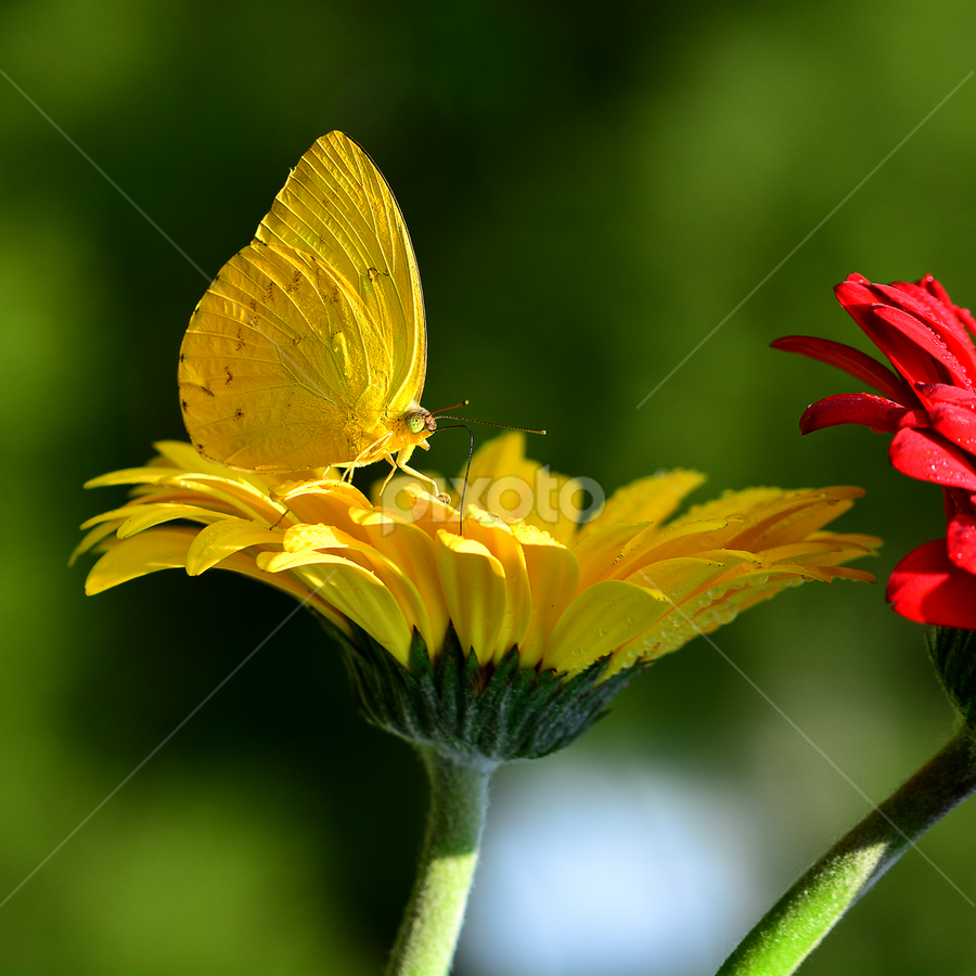 Yellow to yellow by Ajar Setiadi - Flowers Flowers in the Wild (  )