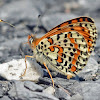 Spotted Fritillary (male)