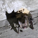 Rafinesque's Big-eared Bat
