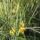 Pinnate Prairie Coneflower