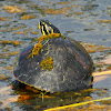 Florida Redbellied Cooter Turtle