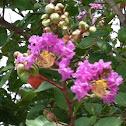 Purple crape myrtle
