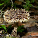 Hairy trumpet fungus
